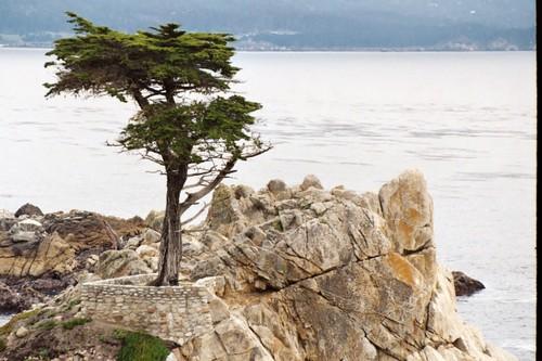 Lone cyprus tree