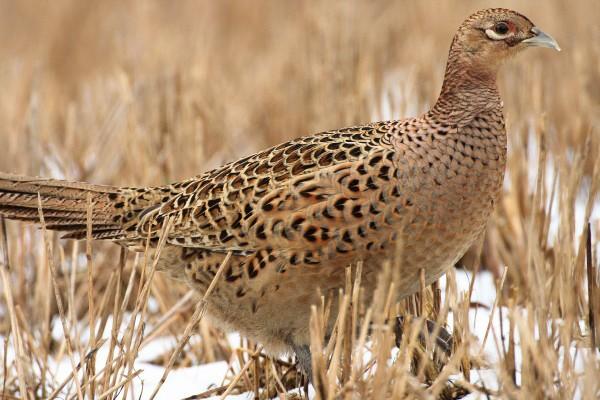 Pheasant+hen+35253