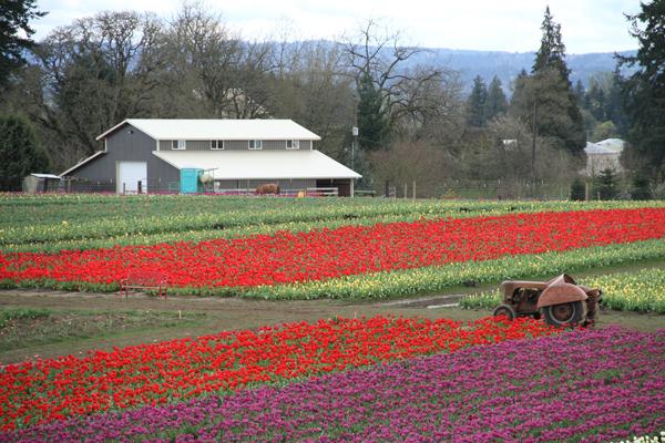 Tulip_farm.005