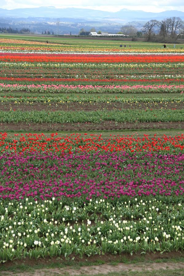 Tulip_farm.003