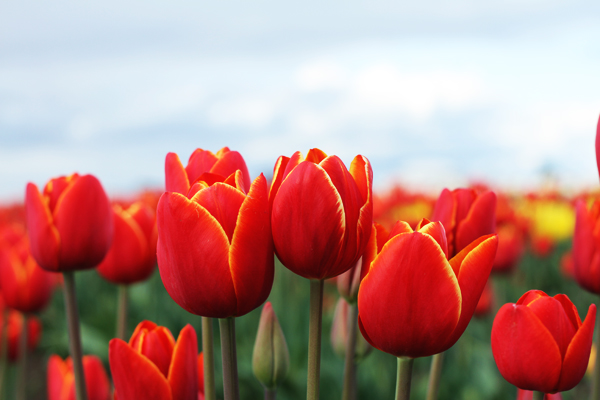 Tulip_farm.010