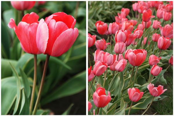 Tulip_farm.025