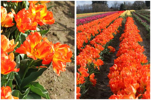 Tulip_farm.028