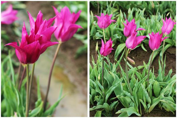 Tulip_farm.027