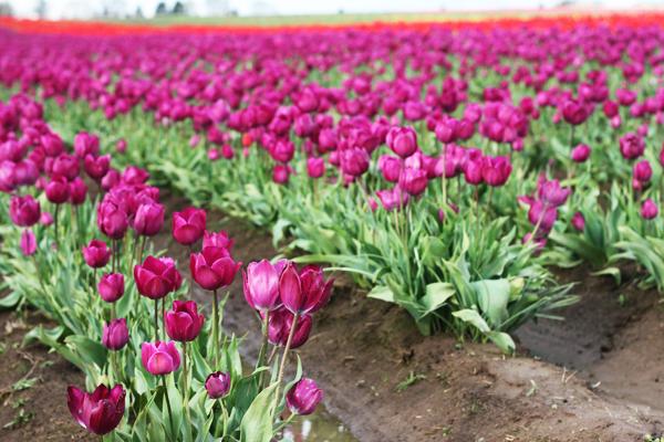 Tulip_farm.006