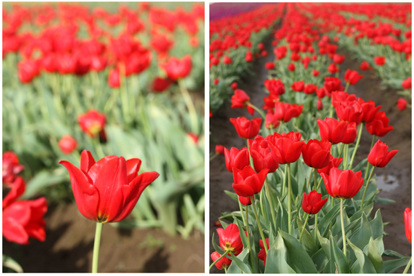 Tulip_farm.024