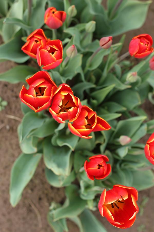 Tulip_farm.011