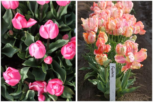 Tulip_farm.029