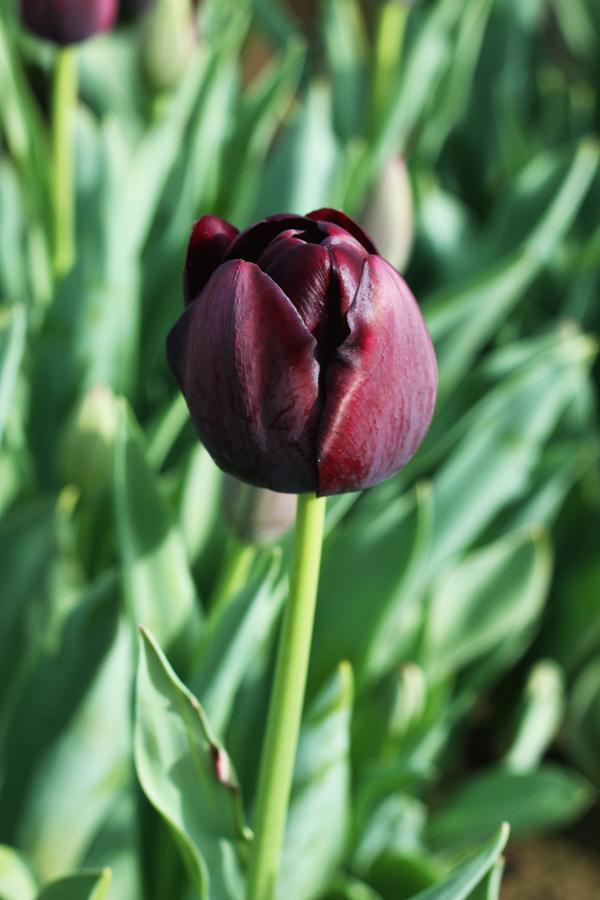 Tulip_farm.015
