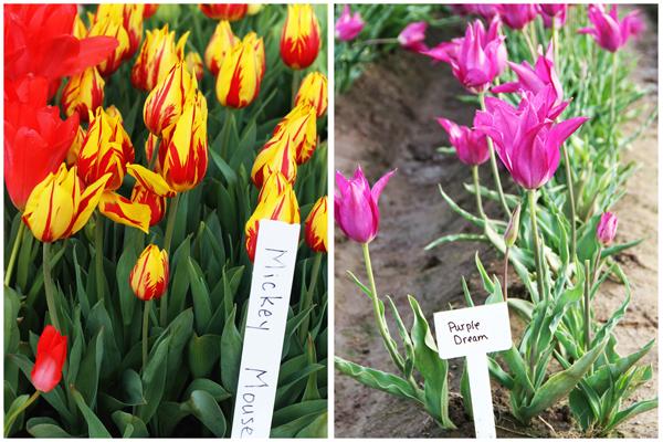 Tulip_farm.030