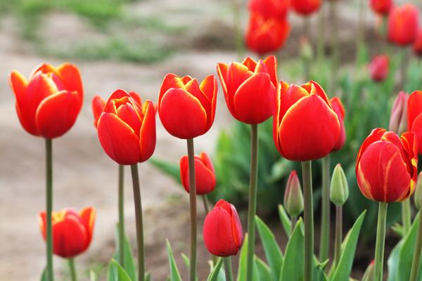 Tulip_farm.012