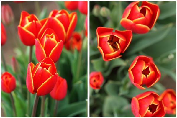 Tulip_farm.026
