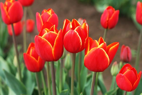 Tulip_farm.009
