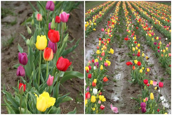 Tulip_farm.023