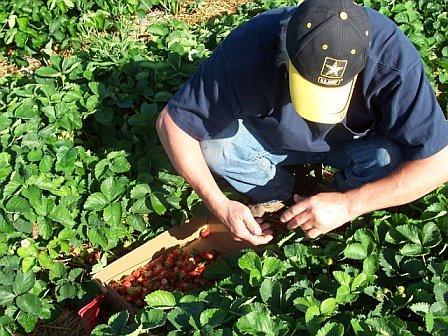 Dad_picking_strawberries